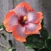 Aloha Friday Photo: Colorful Hibiscus Beauty