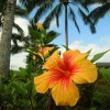 Aloha Friday Photo: Kauai hibiscus beauty