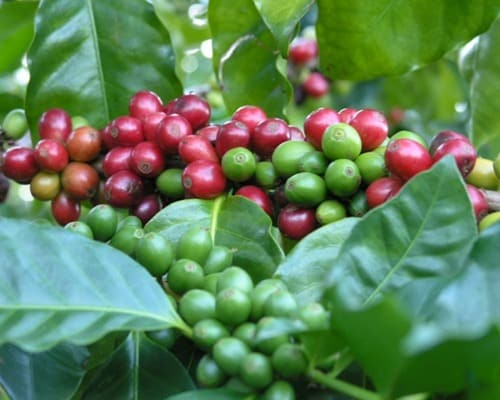 Coffee cherries on the plant