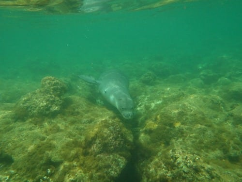 monk seal in water