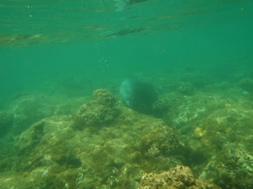 monk seal popping out