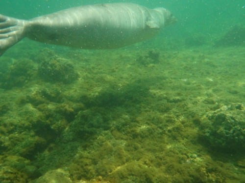 monk seal swimming away
