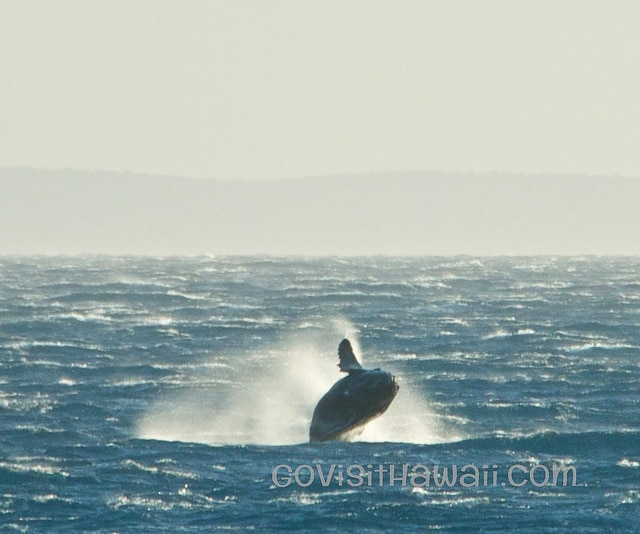 calf humpback breach