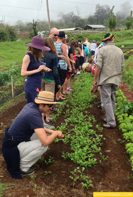Guests touring O'o Farm picking salad greens