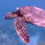 swimming with honu on kohala coast