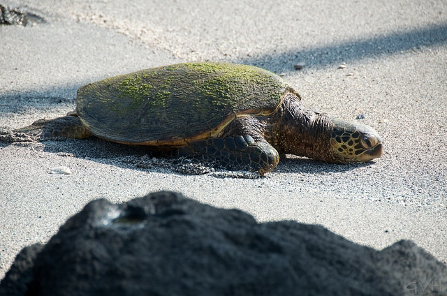 A honu (sea turtle) finds refuge at Puuhonau O Honauau