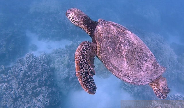 Honu swimming off the Kohala Coast of Hawaii Island.