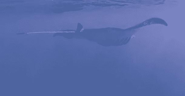 Manta ray in Wailea, Maui