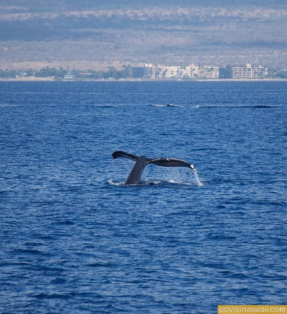 When is the best time to see humpback whales in Hawaii and ...