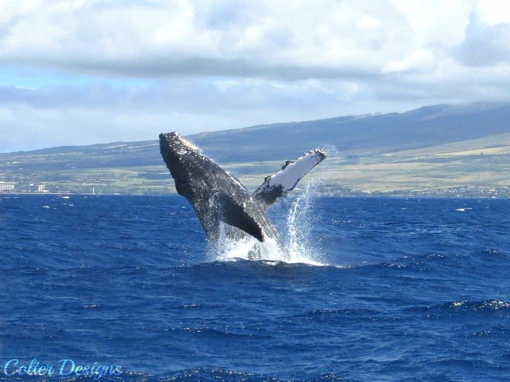 Aloha Friday Photo: Whale breaching in Maui
